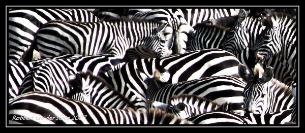 Picture of several zebras